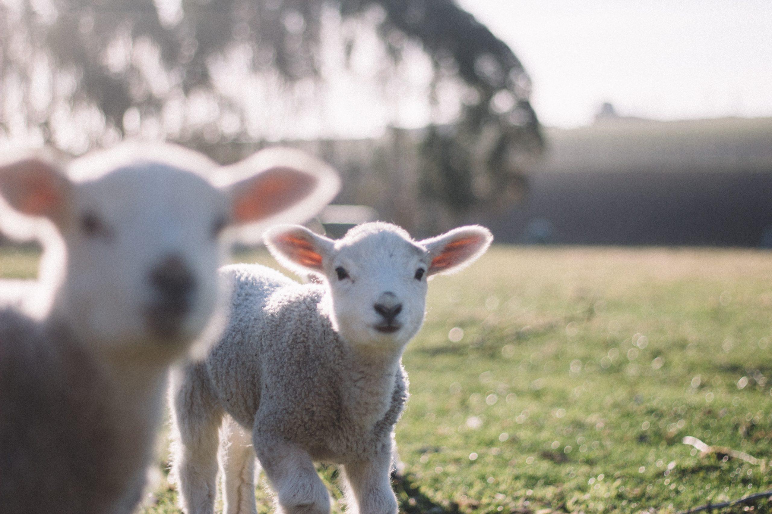 reasons to feel positive - lambing season