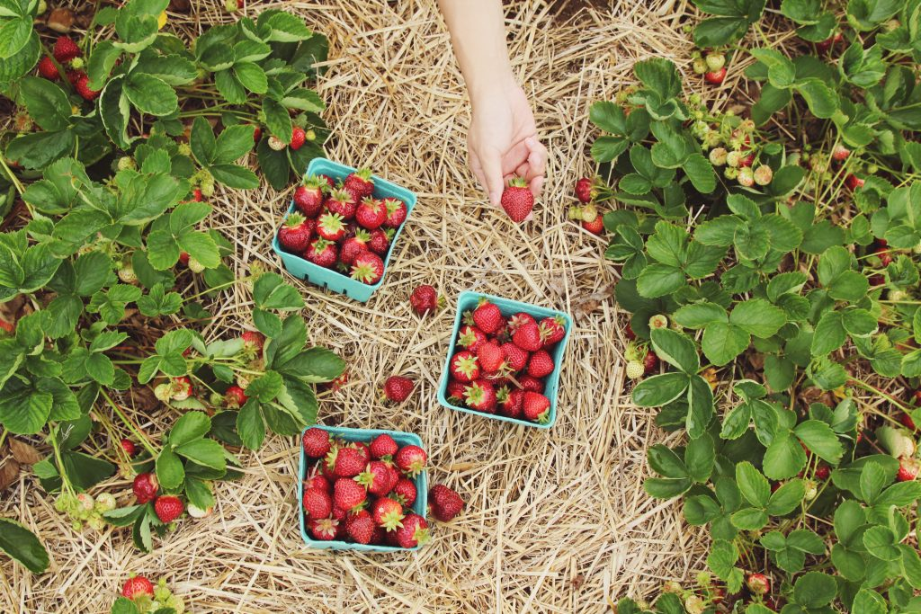Sustainable strawberries from a British farm